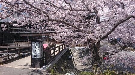 野遊び棚の前の桜