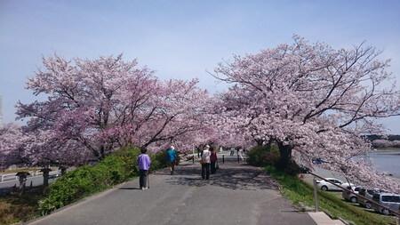 五十鈴川桜 土手の桜