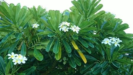 キングスランドお庭に咲くプルメリア