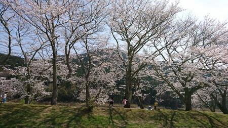 宮リバー 桜