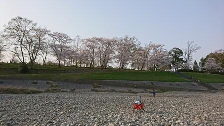 宮リバー 河川敷から見た桜